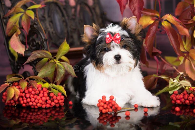 Puppy Biewer Yorkshire Terrier-herfst en rode lrowanbessen royalty-vrije stock fotografie