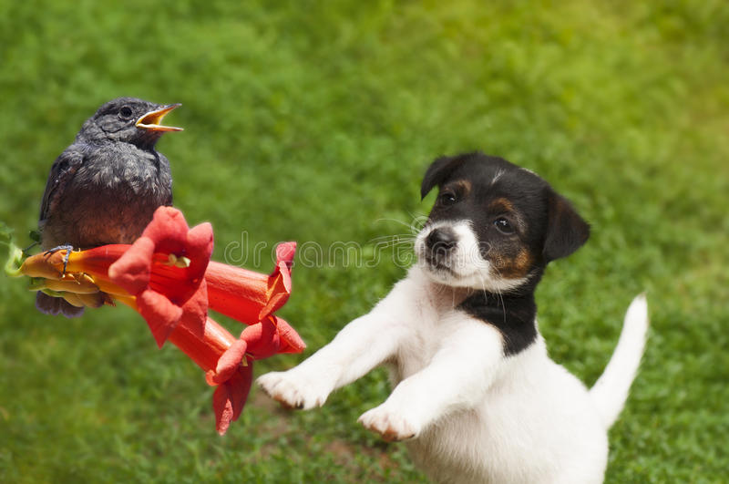 Puppy and bird. Smooth Fox Terrier puppy jumping to catch a little bird royalty free stock images