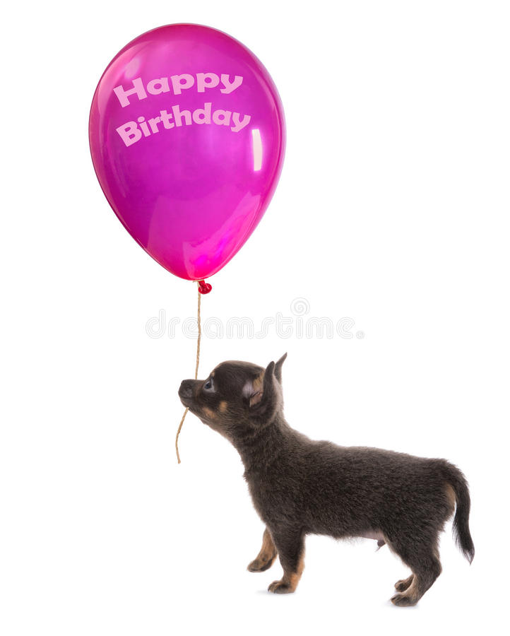 Puppy with birthday balloon. Funny little chihuahua puppy walking with a huge birthday balloon royalty free stock photo
