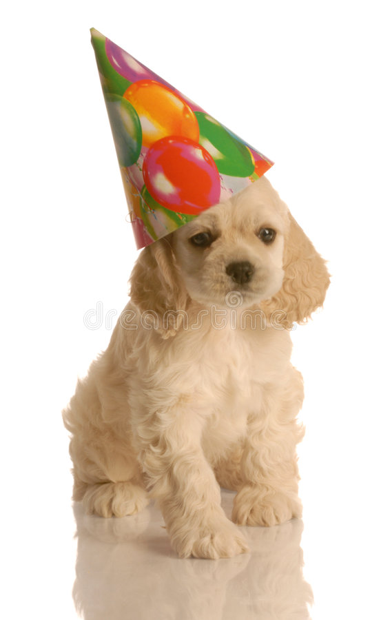 Puppy with birthday hat. American cocker spaniel puppy wearing cute birthday hat stock image