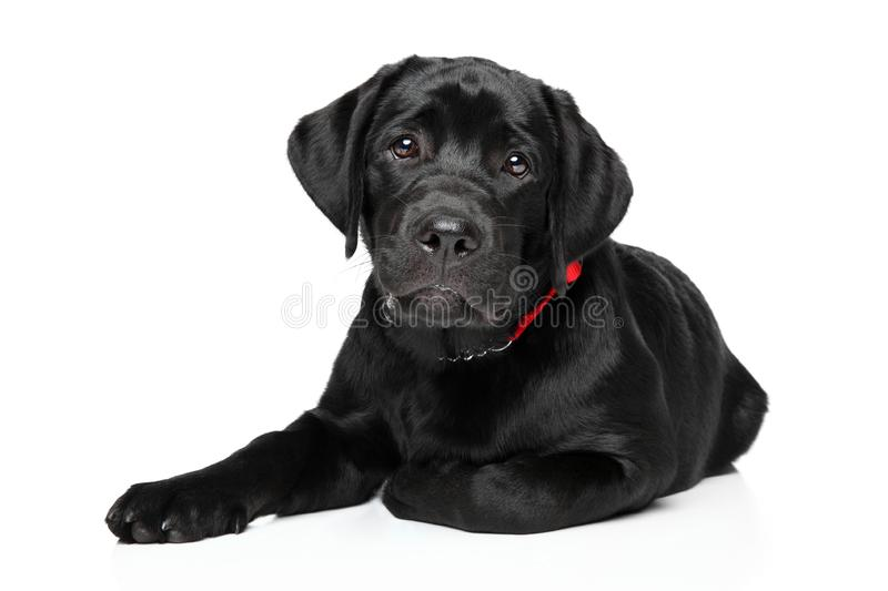 Black Labrador puppy in front of white background stock image