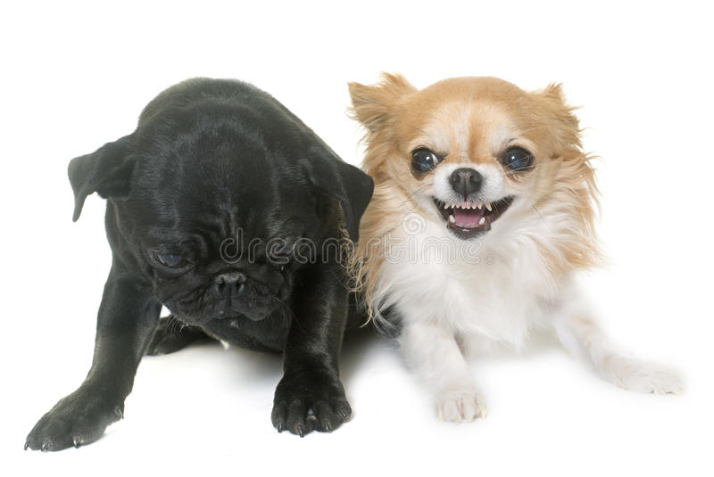 Puppy black pug and chihuahua stock photos