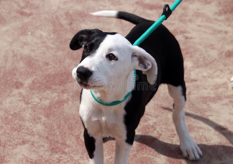Puppy black and white dog stock photo
