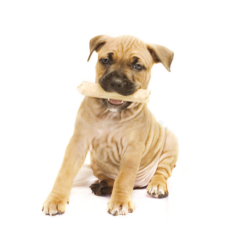 Puppy with bone royalty free stock photo