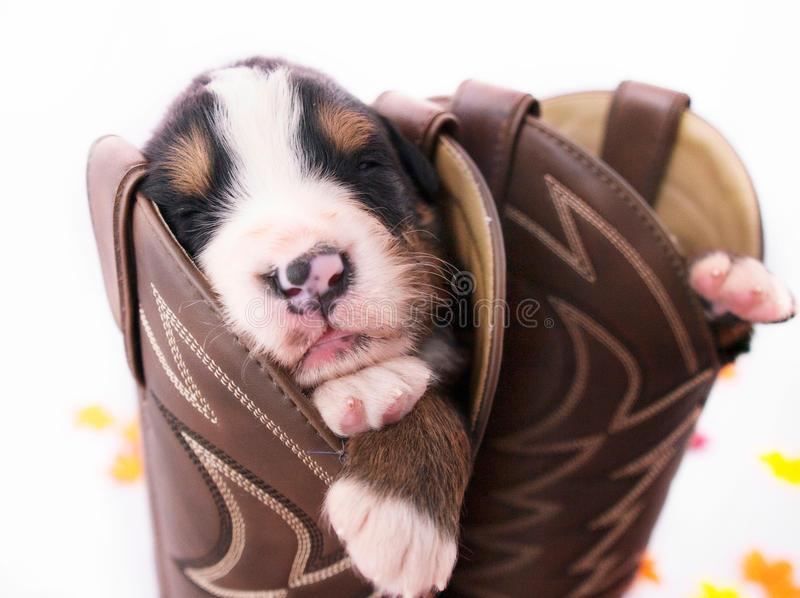 Puppy in a Boot. The puppy in the boot behind the puppy in the front fell asleep and sunk into the boot. I had stuffed each cowboy boot with cheese cloth, but stock images