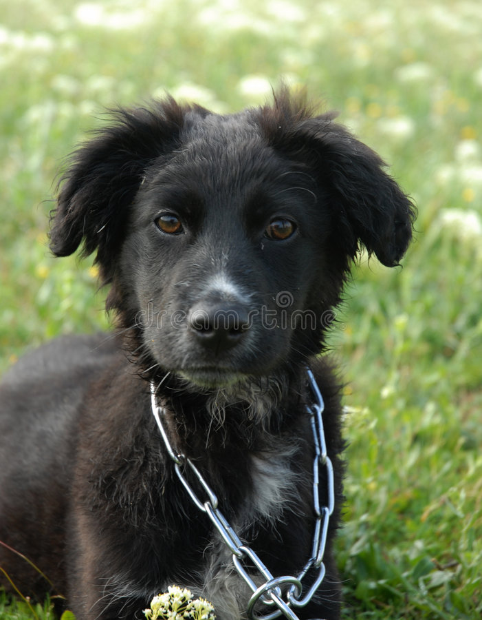 Download Puppy border collie stock photo. Image of down, attentive - 2400994