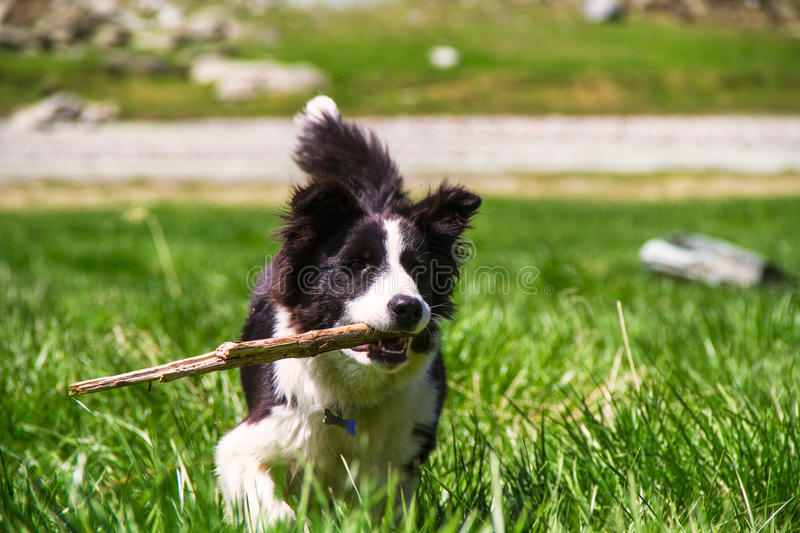 Download Puppy border collie stock image. Image of black, white - 26573069