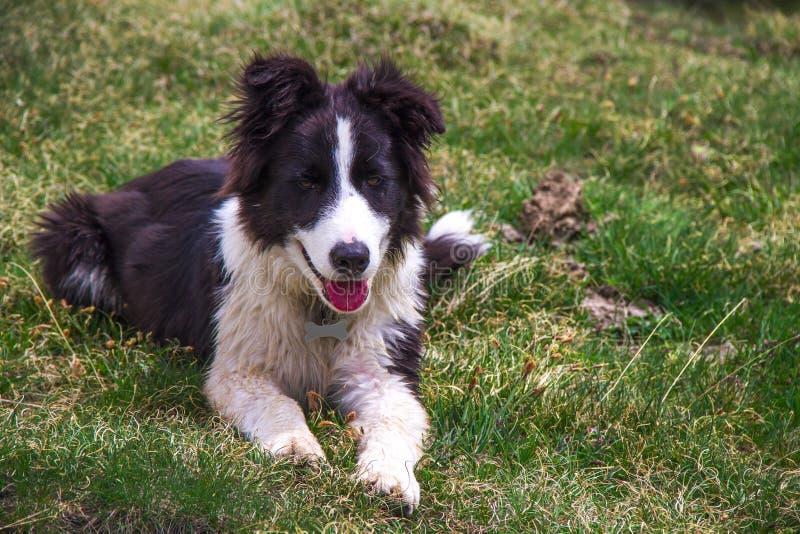 Puppy Border Collie Stock Image