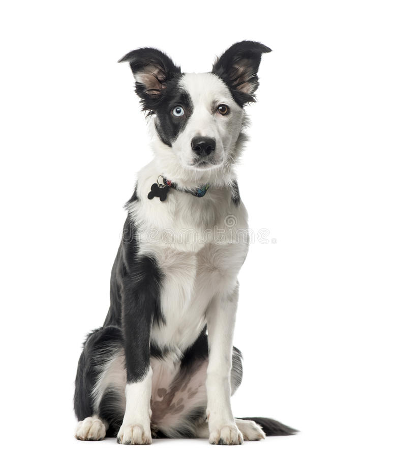 Puppy Border collie die, 5 geïsoleerde maanden oud, zitten stock afbeeldingen