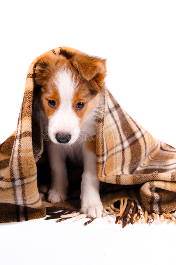 Download Puppy Of The Border Collie Dog Stock Image - Image: 22036495