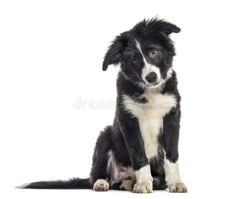 puppy border collie dog, 3 months old, sitting, isolated on whit stock photo