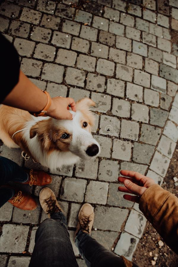 Puppy Border Collie gives paw the giel royalty free stock photo