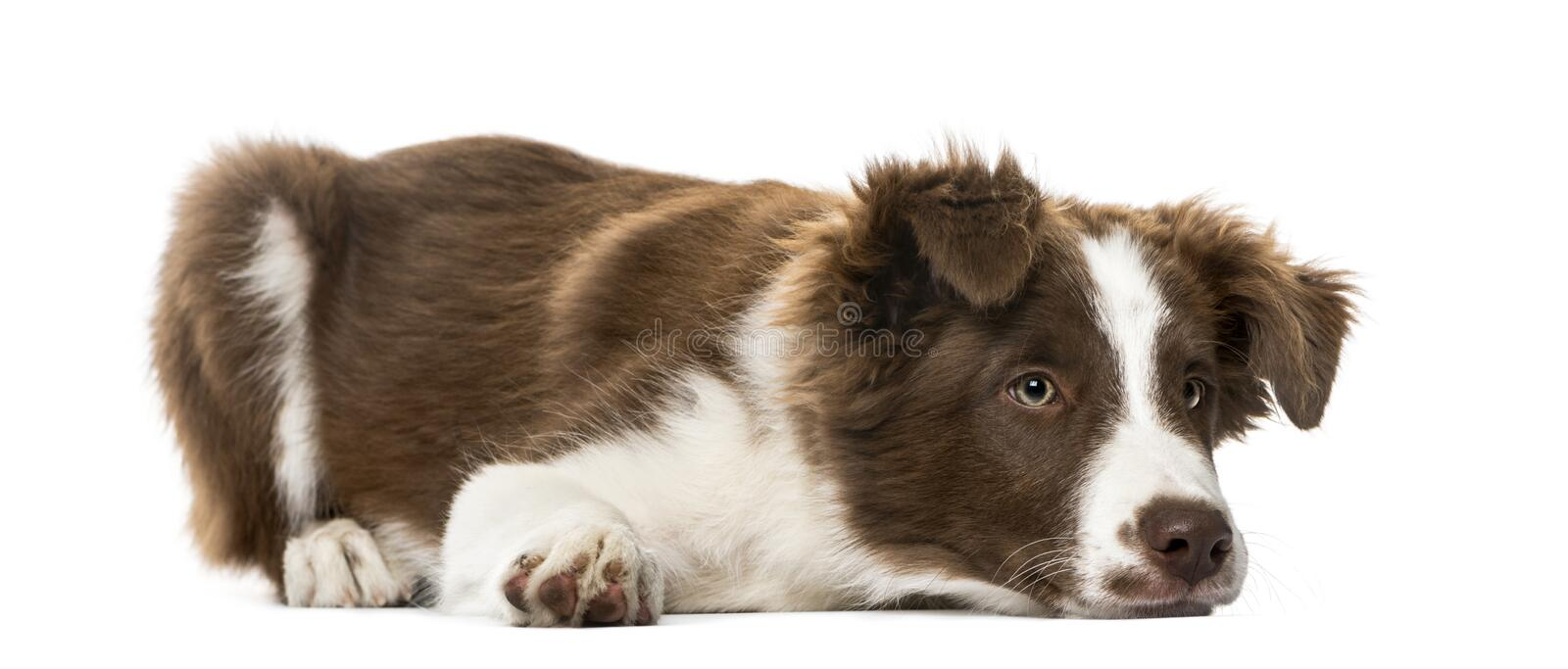Puppy Border Collie lying, ,15 weeks old. Puppy Border Collie lying, on white,15 weeks old royalty free stock image