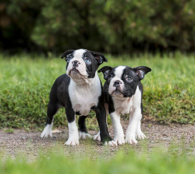 Puppy Boston Terrier royalty free stock photos