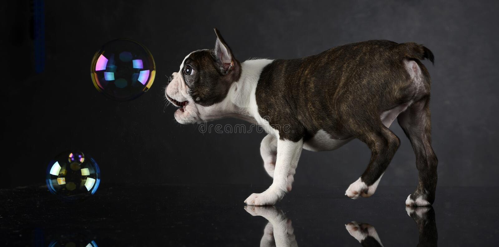 Puppy Boston Terrier plays with bubbles in a photo studio stock photography