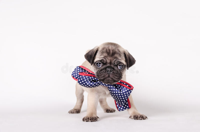 Puppy with a bow tie royalty free stock photos