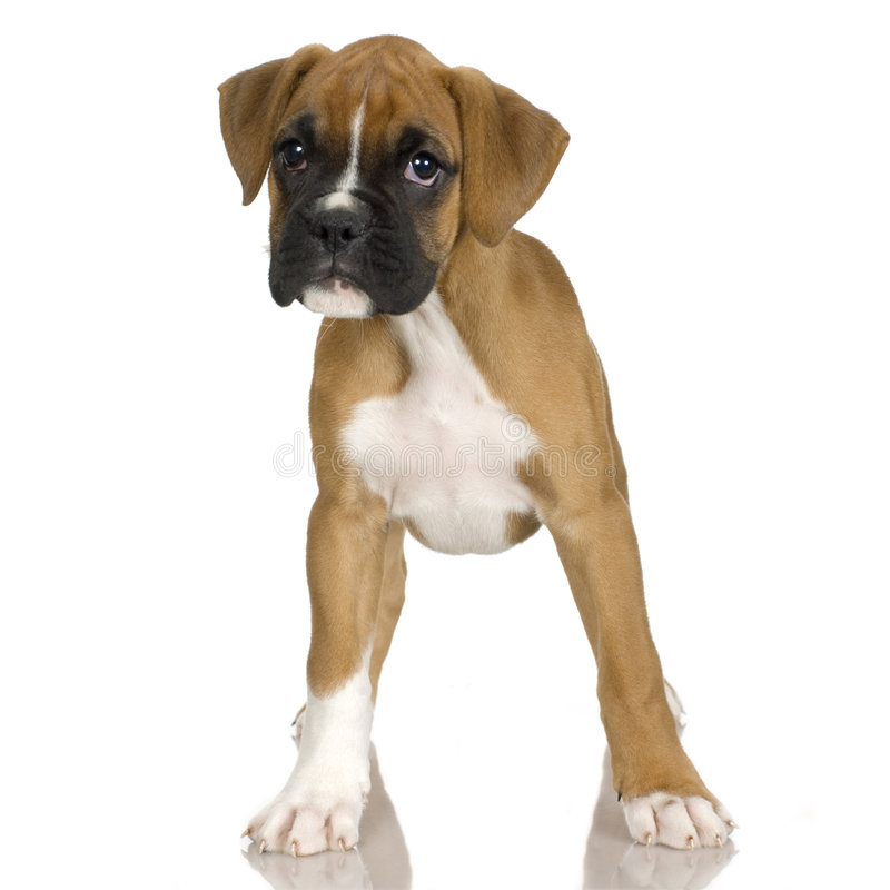 Puppy Boxer (2 mounths) stock photography