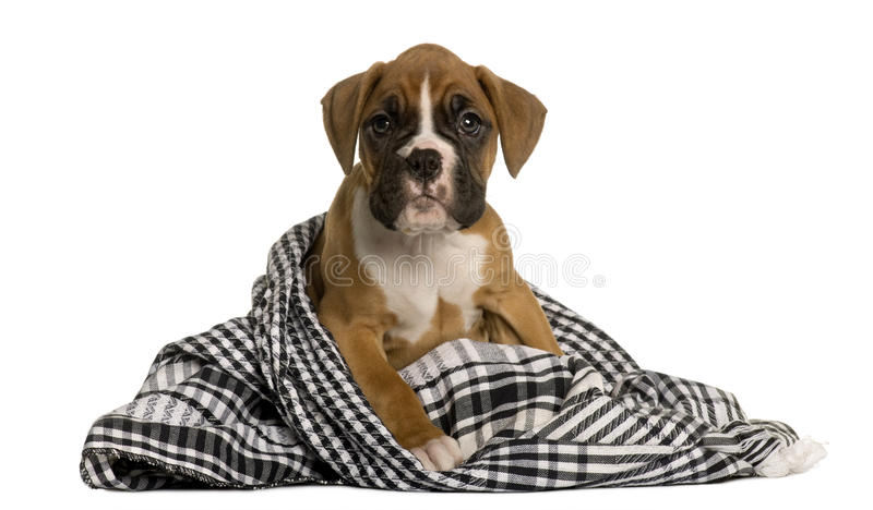Puppy Boxer wrapped in blanket, 2 months old stock photos