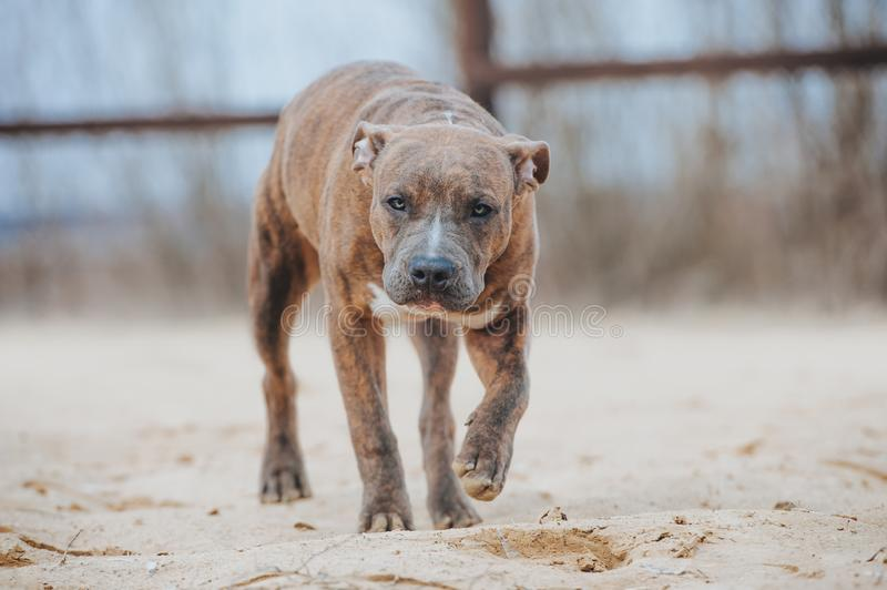 Puppy of breed American Staffordshire Terrier walks on the sand. Tiger dog with blue eyes sneaks. Puppy of breed American Staffordshire Terrier walks on the sand royalty free stock photo
