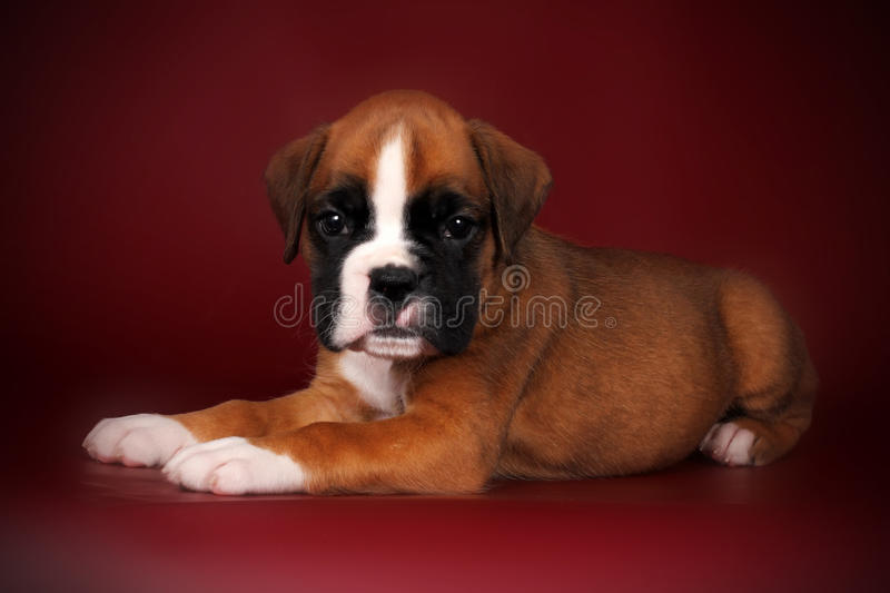 Puppy of breed boxer with white paws and muzzle lies. Cute puppy of breed boxer with white paws and muzzle lies on the deep red background in the Studio royalty free stock images