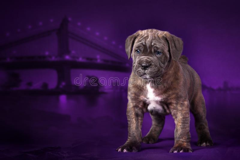 Puppy breed cane Corso stands on the background of the night city. stock images