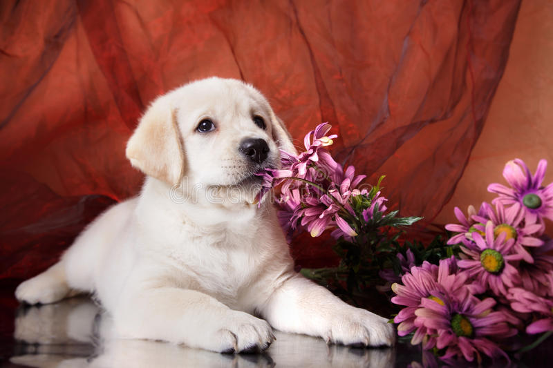Puppy breed labrador stock photos
