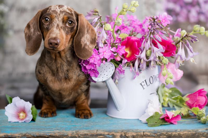 Puppy brown tan merle color and roses flowers royalty free stock image
