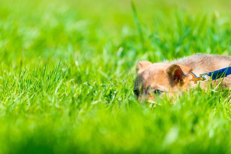 Puppy with brown wool resting in a juicy green grass royalty free stock image