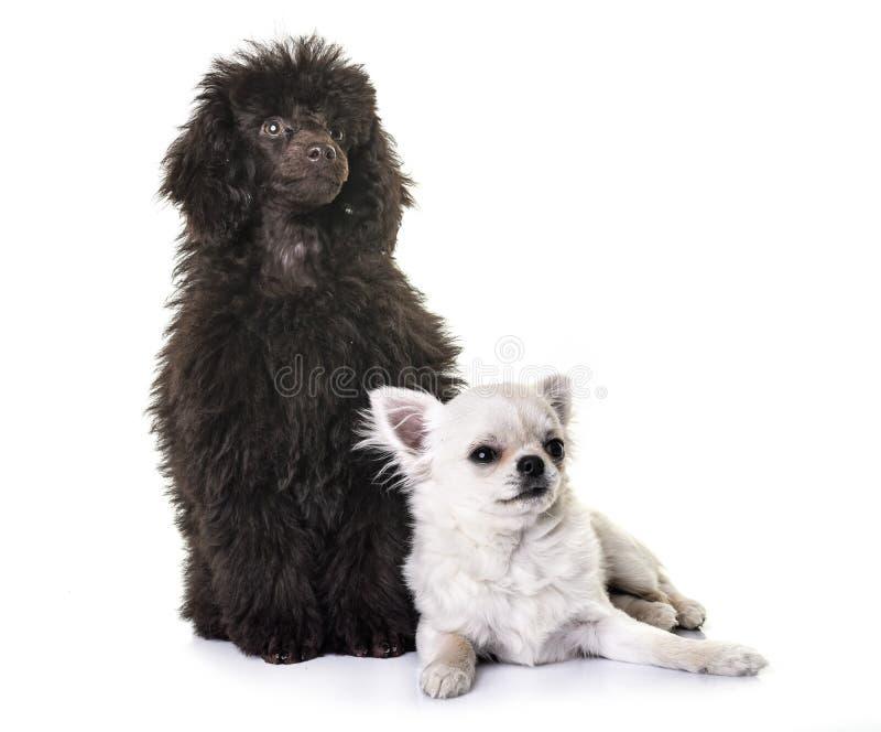 Puppy bruine poedel en chihuahua royalty-vrije stock fotografie