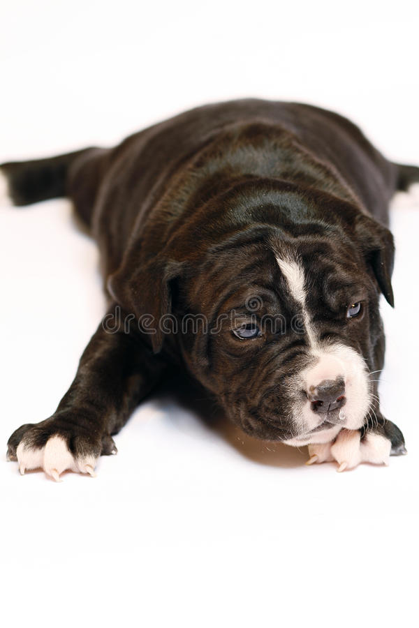 Puppy of a bulldog stock photography