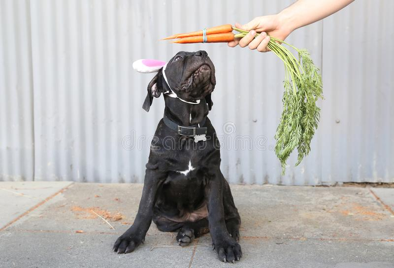 Puppy with bunny ears and carrots royalty free stock photos