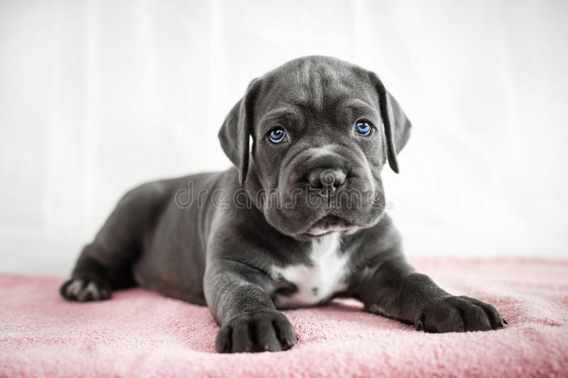 Puppy Cane Corso gray color on the background. Cane Corso puppy gets out of the box on a white background royalty free stock photo