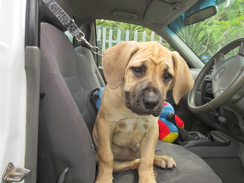Puppy In Car. stock photo