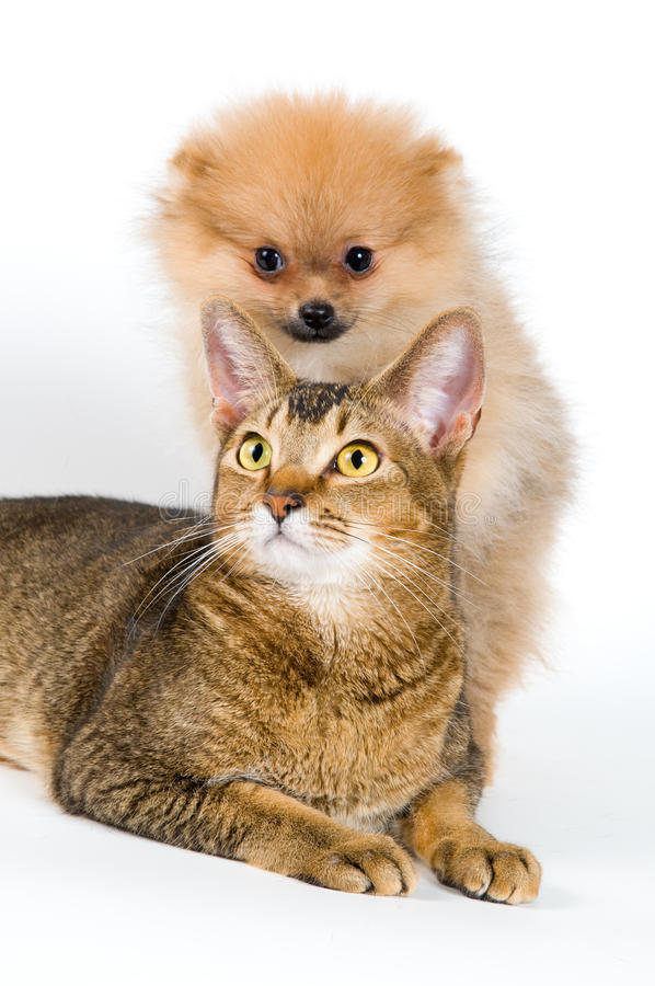 Puppy and cat. In studio on a neutral background stock image