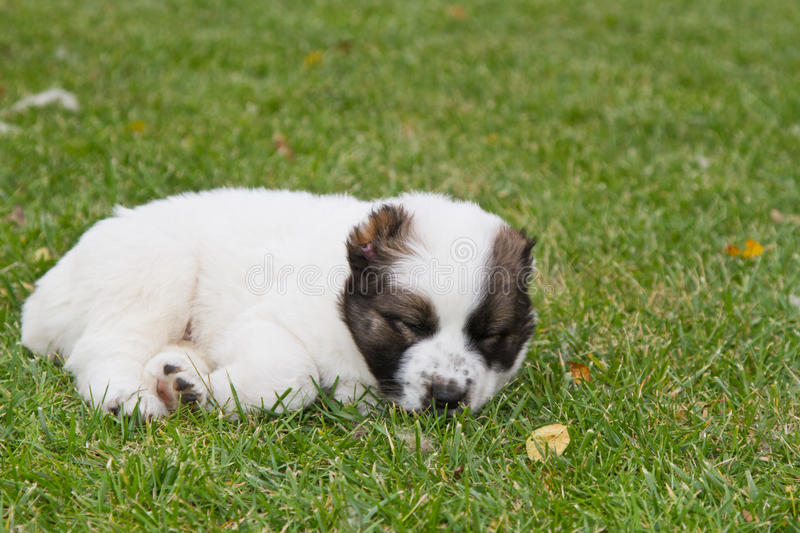 Puppy of the Central Asian sheep-dog. Lovely nice puppy of the Central Asian sheep-dog royalty free stock photography