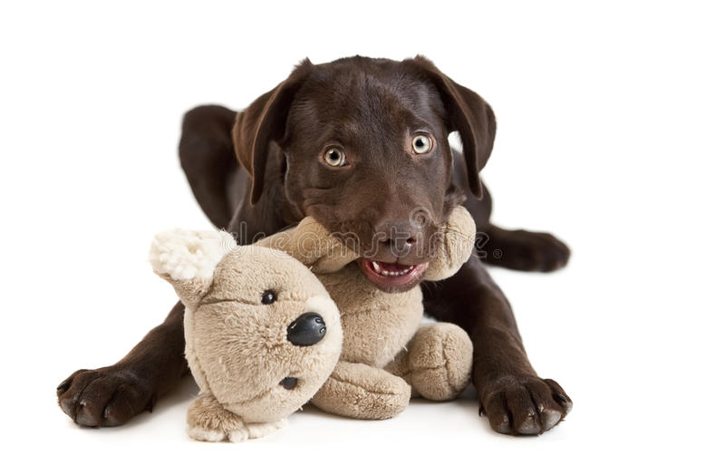 Puppy chewing royalty free stock image