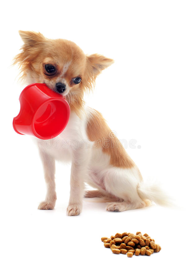 Download Puppy Chihuahua And Food Bowl Royalty Free Stock Images - Image: 22213359