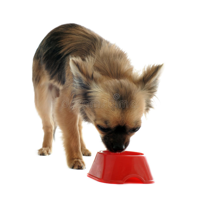 Download Puppy Chihuahua And Food Bowl Stock Photo - Image of little, canine: 24640884