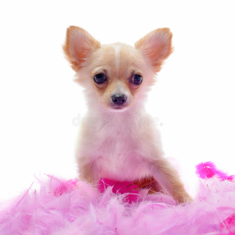 Download Puppy Chihuahua With Pink Feather Stock Photography - Image: 20480902