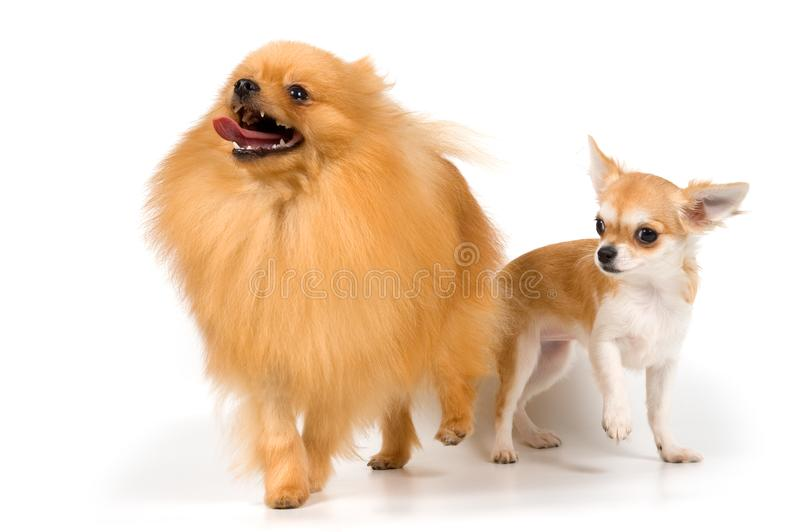 The puppy chihuahua and spitz-dog in studio stock photo