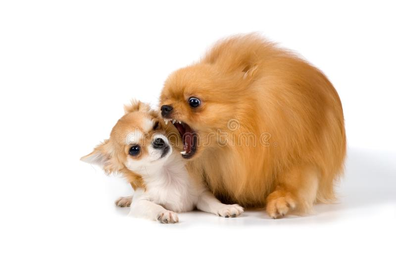 The puppy chihuahua and spitz-dog in studio royalty free stock images