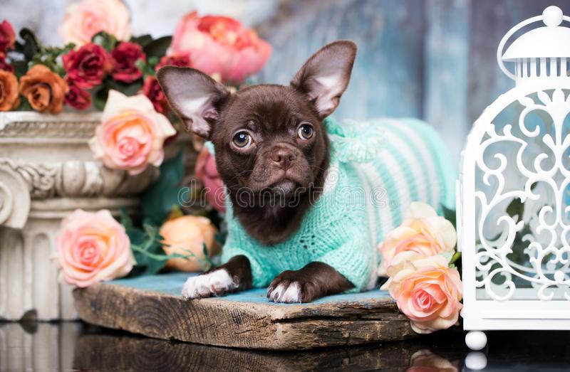 Puppy chocolate chihuahua  and flowers royalty free stock image