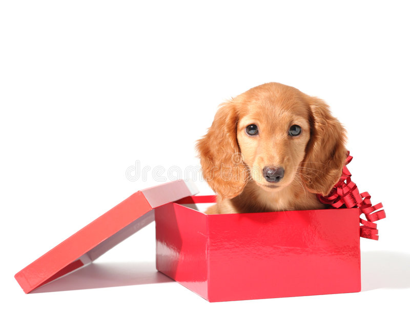 A puppy for Christmas stock images