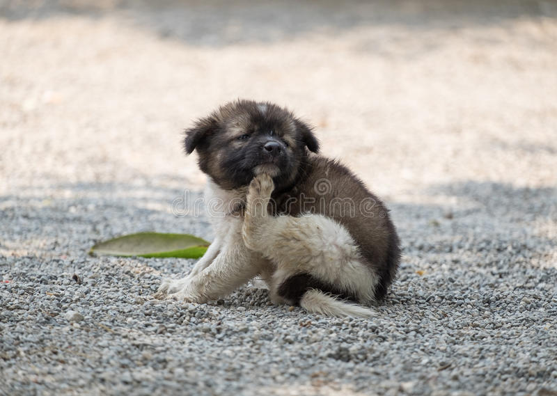 Puppy chubby scratching itch. Puppy dog chubby scratching itch stock photo