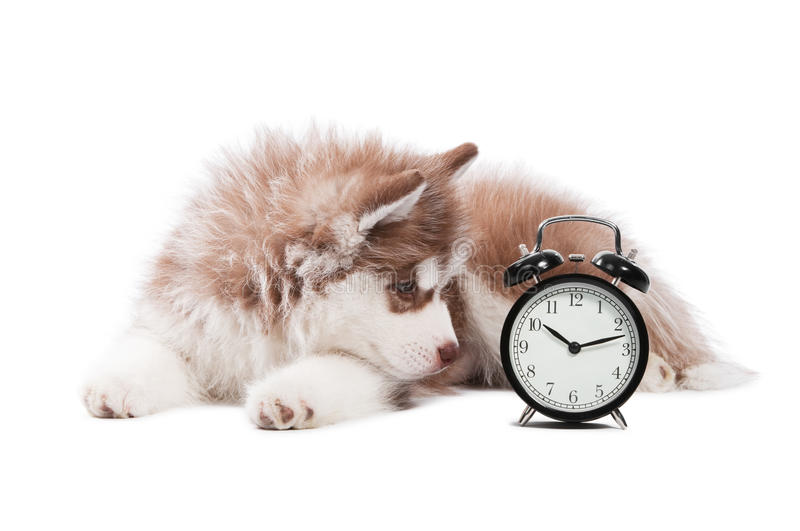 Puppy with clock time stock photography