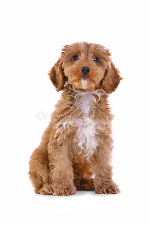 Puppy Cockapoo die op wit wordt geïsoleerde royalty-vrije stock foto