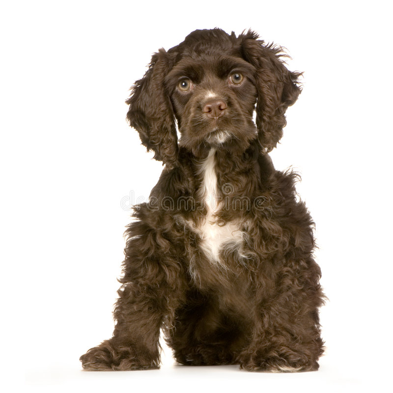 Download Puppy Cocker Spaniel stock image. Image of domestic, background - 2314097
