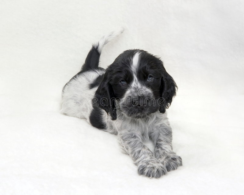 Puppy Cocker Spaniel Blue Roan. Studio portrait of a puppy English Cocker Spaniel wagging tail royalty free stock photos