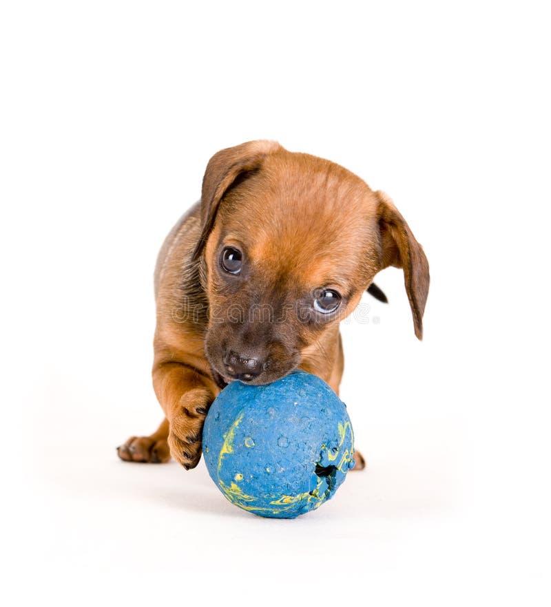 Puppy of dachshund stock photo