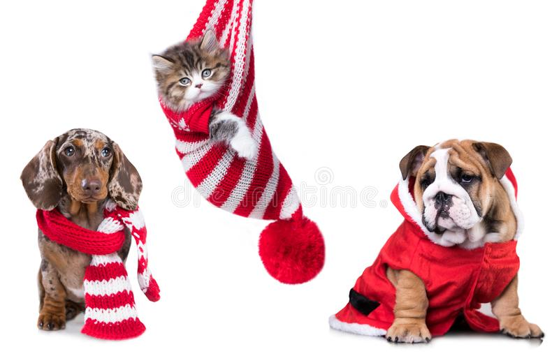 Dachshund New Year`s puppies royalty free stock photography